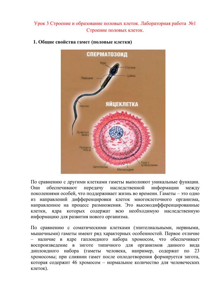 Количество образующихся гамет в спермограмме