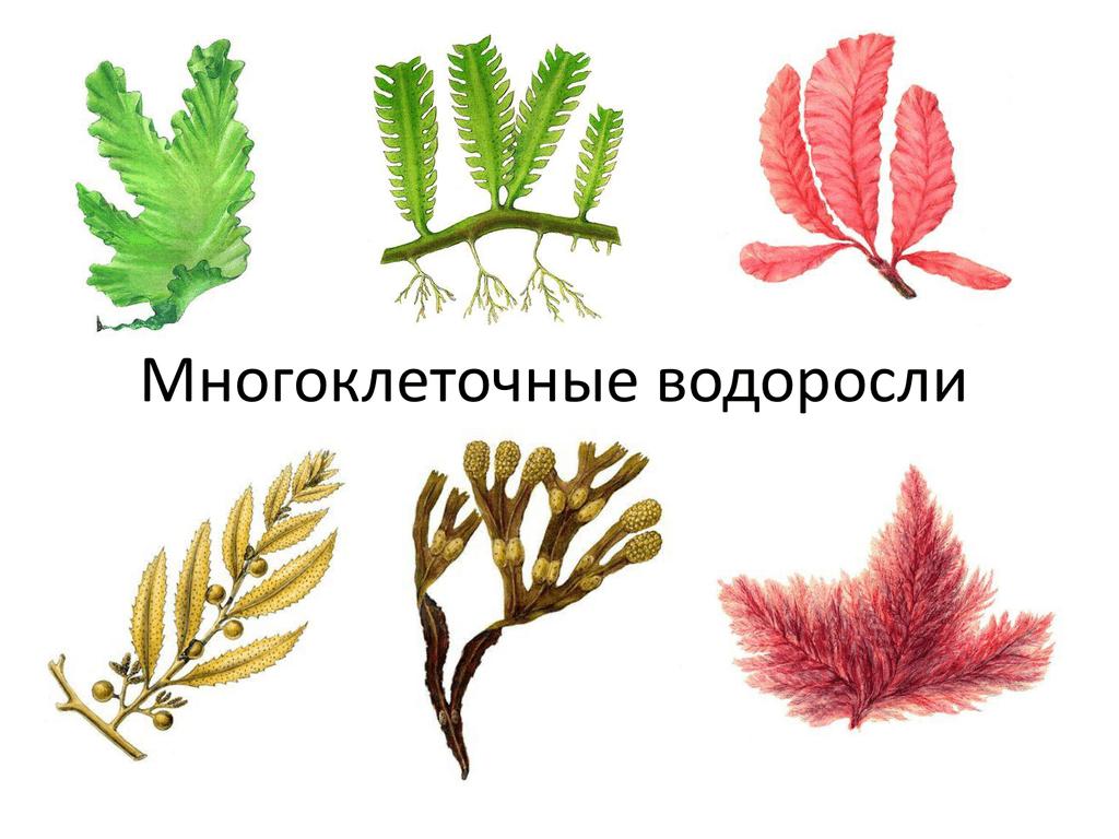 этого картинки водоросли одно и многоклеточные чаще