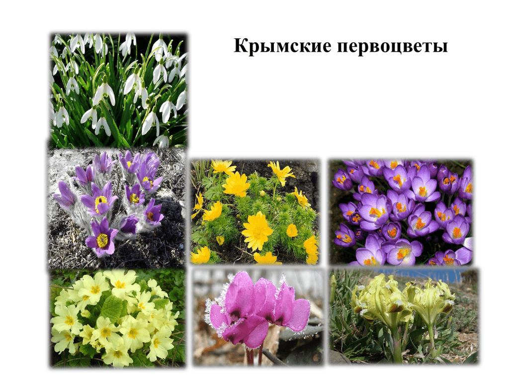Обои сон великий, первоцвет, Весна, цветок. Цветы